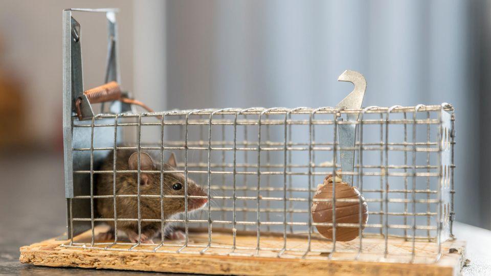 Kleine Maus sitzt gefangen in einer Falle