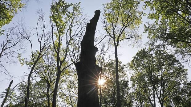 Toter Baum im Gremberger Wäldchen. Buchen leiden neben Fichten besonders unter Dürre und Schädlingen