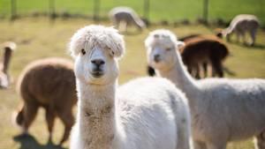 Auf einer Weide steht eine Herde Alpakas. Ein weißes schaut direkt in die Kamera