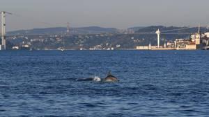 Ein Delfin schwimmt am Bosporus