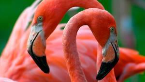 Zwei Flamingos reiben ihre Köpfe freundschaftlich aneinander