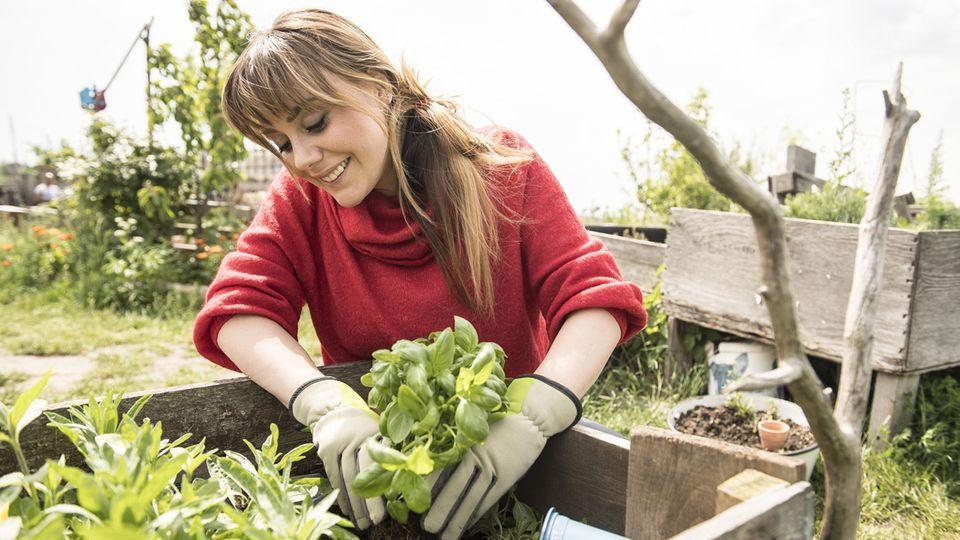 Hochbeet bepflanzen: Frau setzt einen Topf mit Basilikum in ein Hochbeet