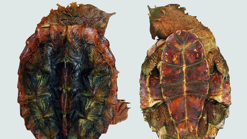 Fransenschildkröte neue Art