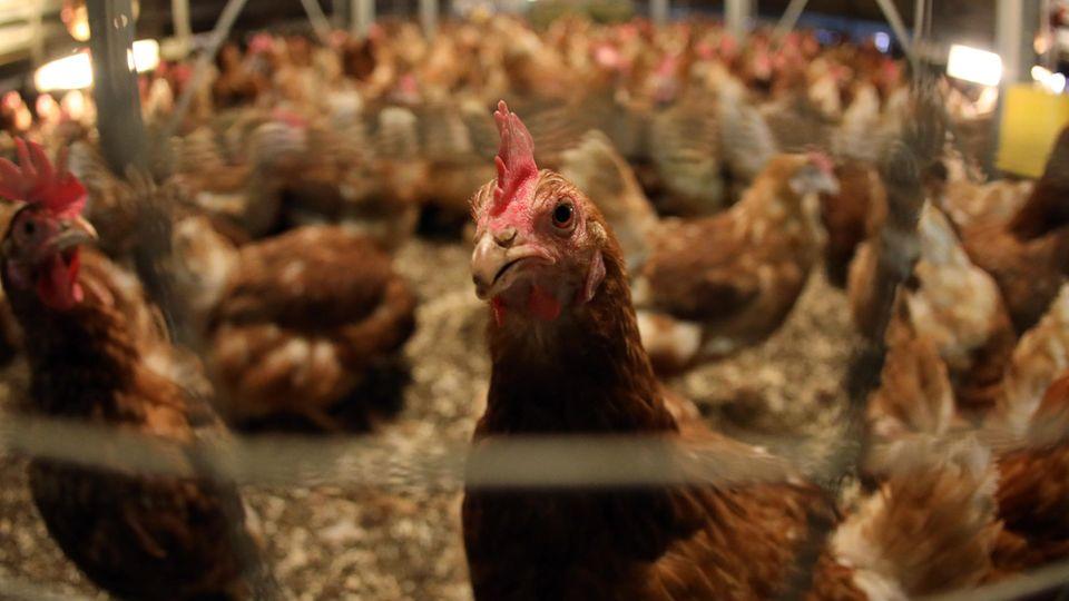 Hühner in einem Stall (Archivbild)