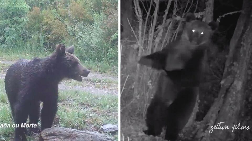 Zum ersten Mal in 150 Jahren: Braunbär in Nordspanien gesichtet