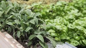 Gartentipps: Salbei und Basilikum in einem Hochbeet