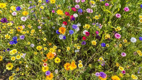Wildblumenwiese mit gelben, roten, blauen und rosafarbenen Blüten