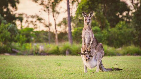 Känguru und Baby
