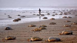60 Millionen Eier in Indien: Mehr Meeresschildkröten dank Corona