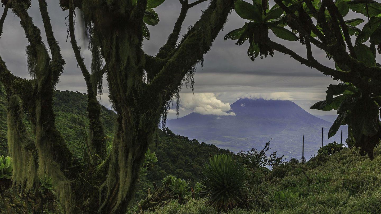 Parc Nacional desVulcans, Ruanda  Der grüne Dschungel im ruandischen Parc National des Volcans bietet den vom Aussterben bedrohten Berggorillas eine Zuflucht. Hier gibt es einen Rundweg, der sich an einem Tag bewältigen lässt - Tierbeobachtungen inklusive.