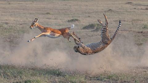 Ein Gepard greift in einer Saltobewegung nach einer Antilope