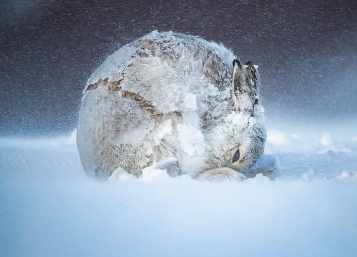 Ein zur Kugel gerollter Hase kauert im Schnee