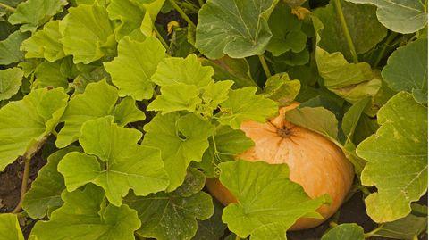 Kürbis pflanzen: Gelber Hokkaidokürbis unter Blättern