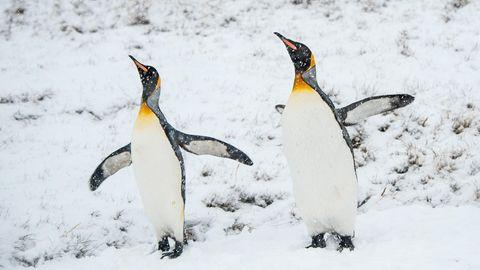 Zwei Königspinguine im Schnee der Antarktis