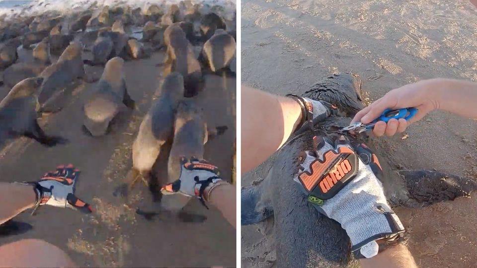Diese dramatischen Aufnahmen zeigen die Rettung von Robben an der Küste Namibias.