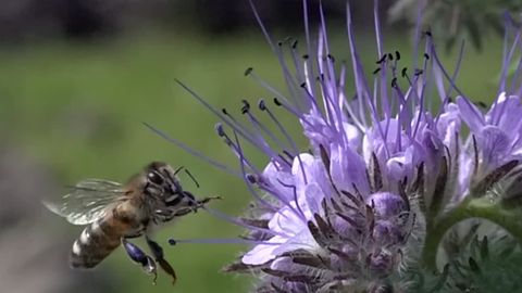 Eine Biene fliegt an eine violette Blüte heran