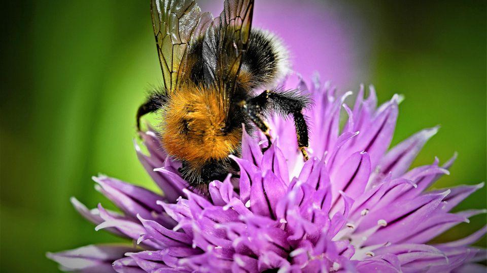 Insektensterben: Viele Bienen, Käfer und Krabbeltiere stehen kurz davor, auszusterben - so können wir sie retten