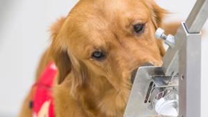 Forscher trainieren HundeCovid-19-Infizierte zu identifizieren – mit der Nase