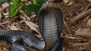 Mord mit Kobra