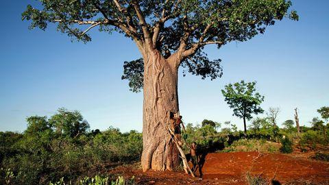 Zwei Männer arbeiten an einem Baobab-Baum