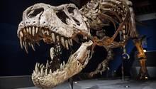 Dinosaurier: T-Rex Skelett