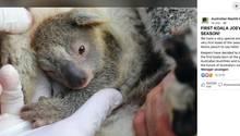 Ein Koala-Baby guckt im Zoo aus dem Beutel seiner Mutter heraus.