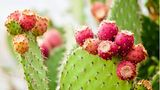 Es gibt mehr als Hundert Nopal-Arten. Heimisch sind diese in Mexiko, wo sie vielseitig in der Küche zum Einsatz kommen.