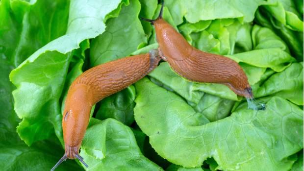 Nacktschnecken auf Salat