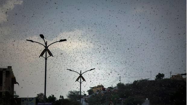 Heuschreckenschwarm in Indien