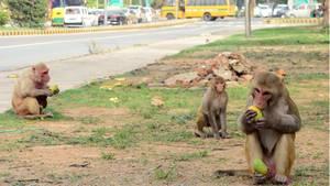 Rhesusauffen an einer Kreuzung in Delhi