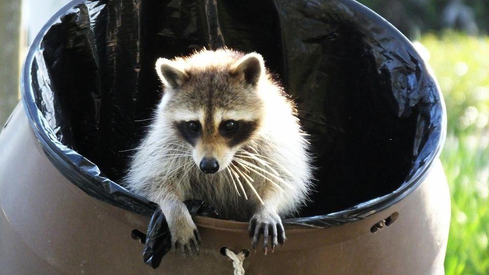 Wenn es um Mülltonnen geht, kennt die Kreativität der Waschbären keine Grenzen