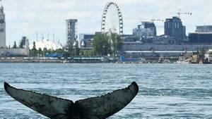 Wal verirrt sich in Gewässer von Montreal