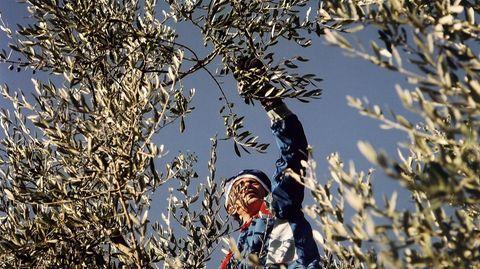 Das Olivenöl mit Zitrone auf nüchternen Magen wird zum Abnehmen verwendet