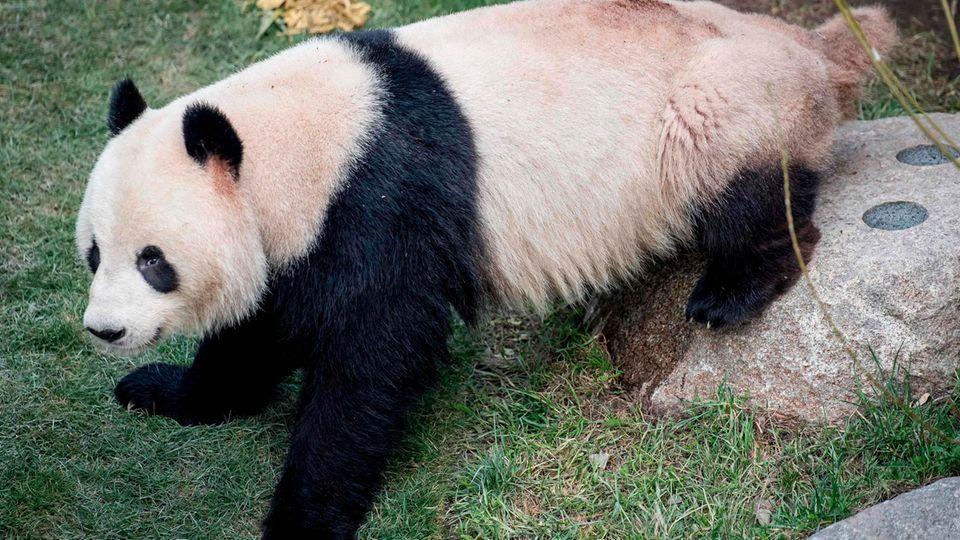 Pandabär Xing Er