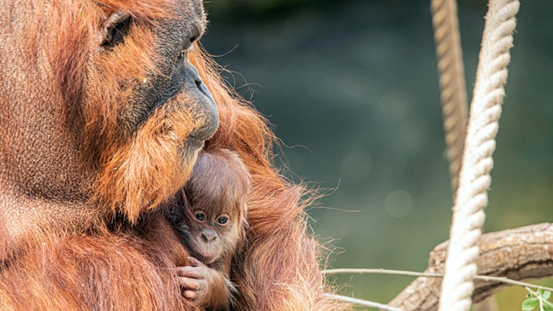 Die Orang-Utan-Mutter hält ihr Neugeborenes im Arm
