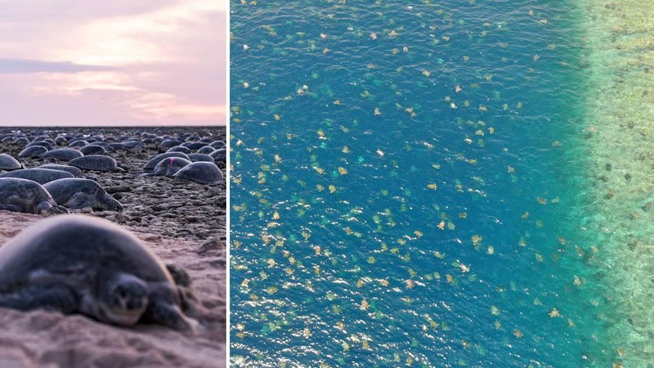 Australien: Zehntausende Grüne Meeresschildkröten bei der Brut
