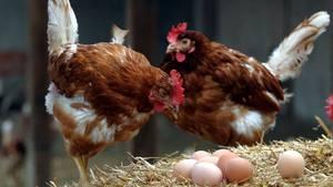 Hühner mit Eiern