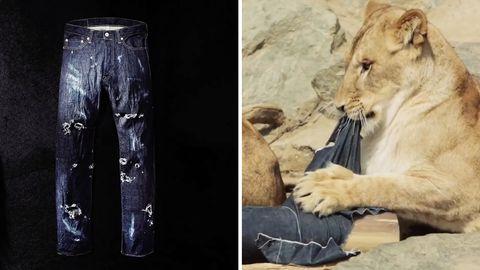 """Eine Löwin im """"North Safari Sapporo"""", einem Erlebnis-Tierpark in Japan, zerreißt Jeans-Material."""