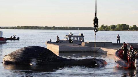 Ein toter Buckelwal liegt am Ufer des Sankt-Lorenz-Stroms unweit von Montreal.