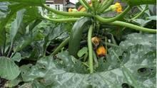 Mehltau bekämpfen: Echter Mehltau auf einer Zucchine-Pflanze
