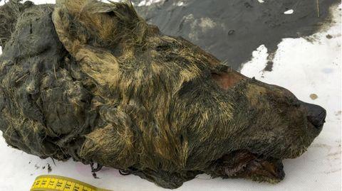Wolf aus Permafrostboden