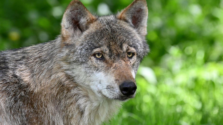 Ein Wolf in einem Tierpark