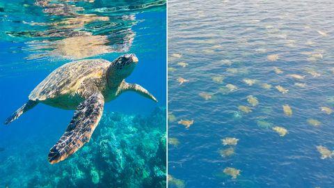 Australien: Drohne entdeckt Zehntausende Meeresschildkröten