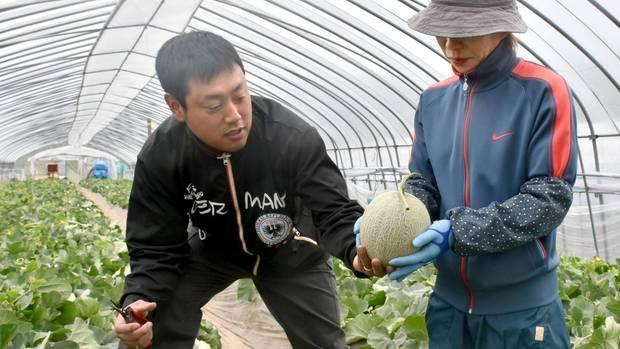 Yubari King Melonen im Gewächshaus