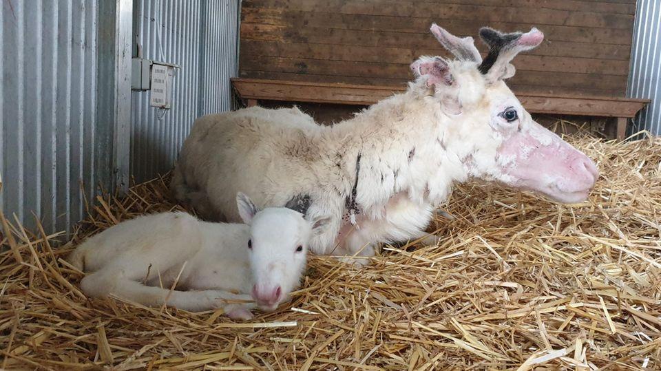 Mama und Nachwuchs sind wohlauf:Das weiße Rentierbaby Nala liegt vor seiner Mutter auf Stroh in einem Stall der Rentieralm.