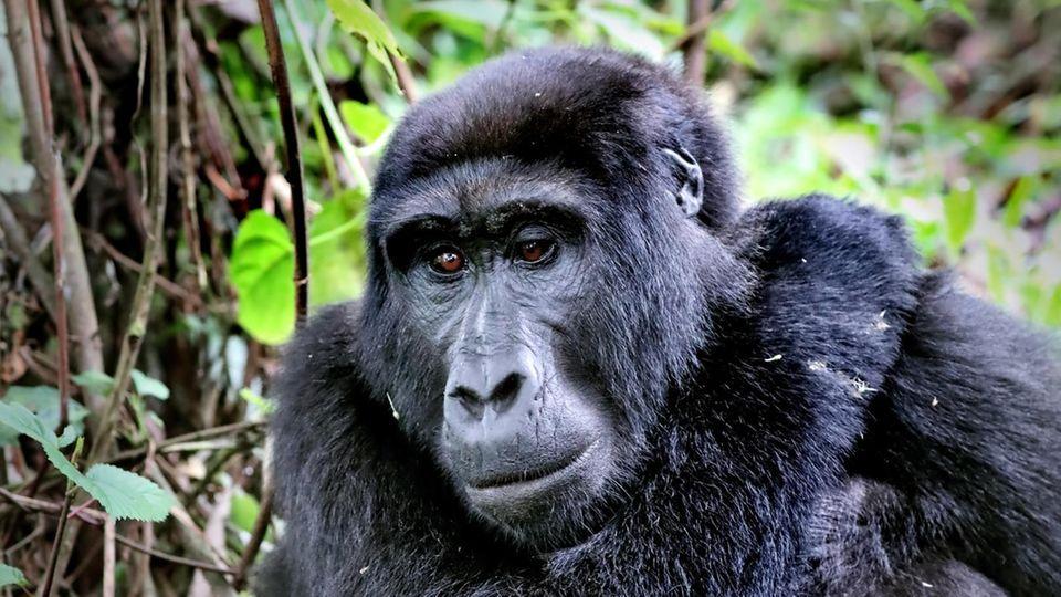Berggorilla im Bwindi Impenetrable National Park in Uganda