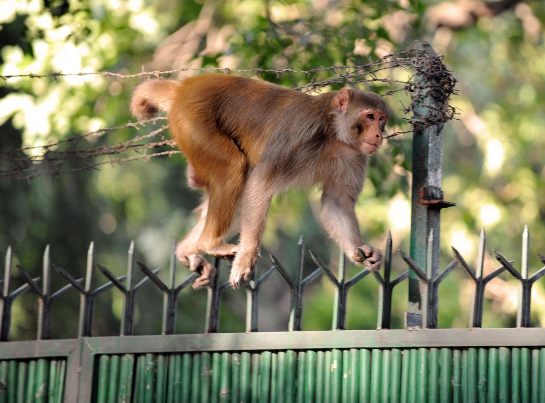 Keine Hoffnung für Kalua: Frei laufende Affen gehören in Indien zum Stadtbild (Symbolbild)