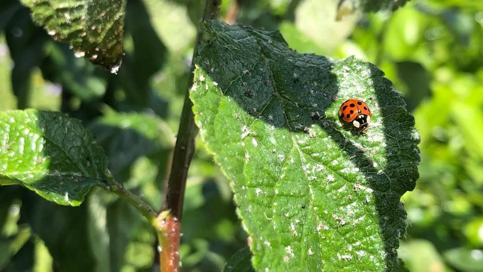 Blattläuse bekämpfen: Marienkäfer auf einer von Blattläusen befallenen Reneklode