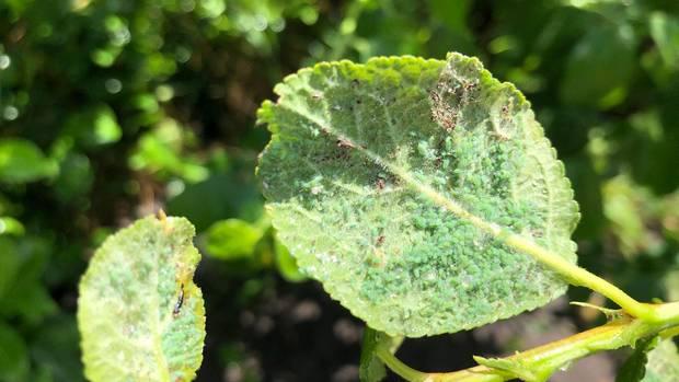 Blattläuse bekämpfen: Ein von Schädlingen befallenes Blatt einer Reneklode