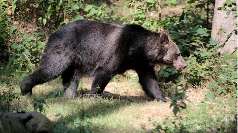 Ein Bär streift durch das Gehege im Anholter Bärenwald